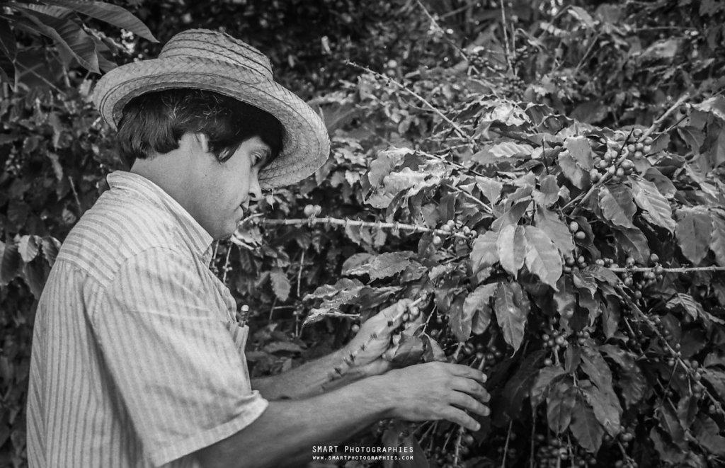 La récolte du Café  (Pinar del rio)