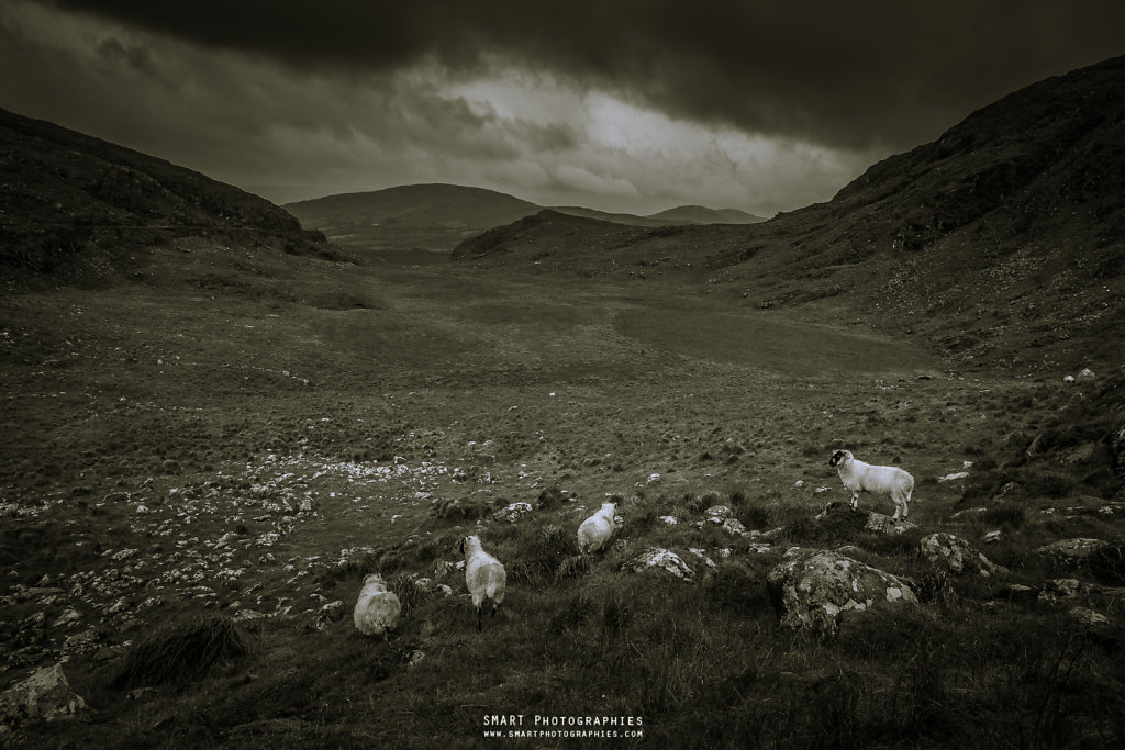 SHEEPS of KERRY